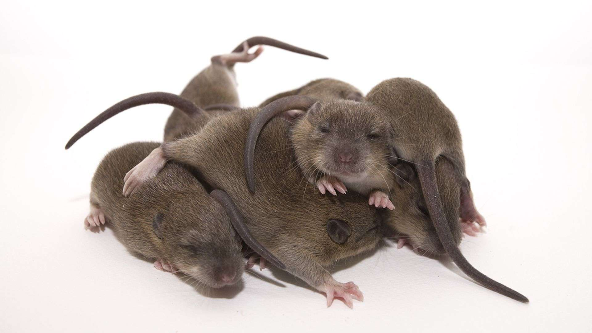 Rats Are Ticklish Just Like Humans, New Study Shows ...