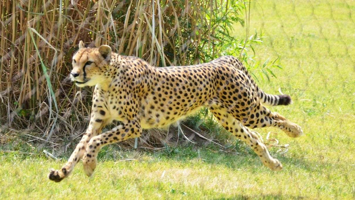 Sarah The Cheetah The World S Fastest Land Animal Has