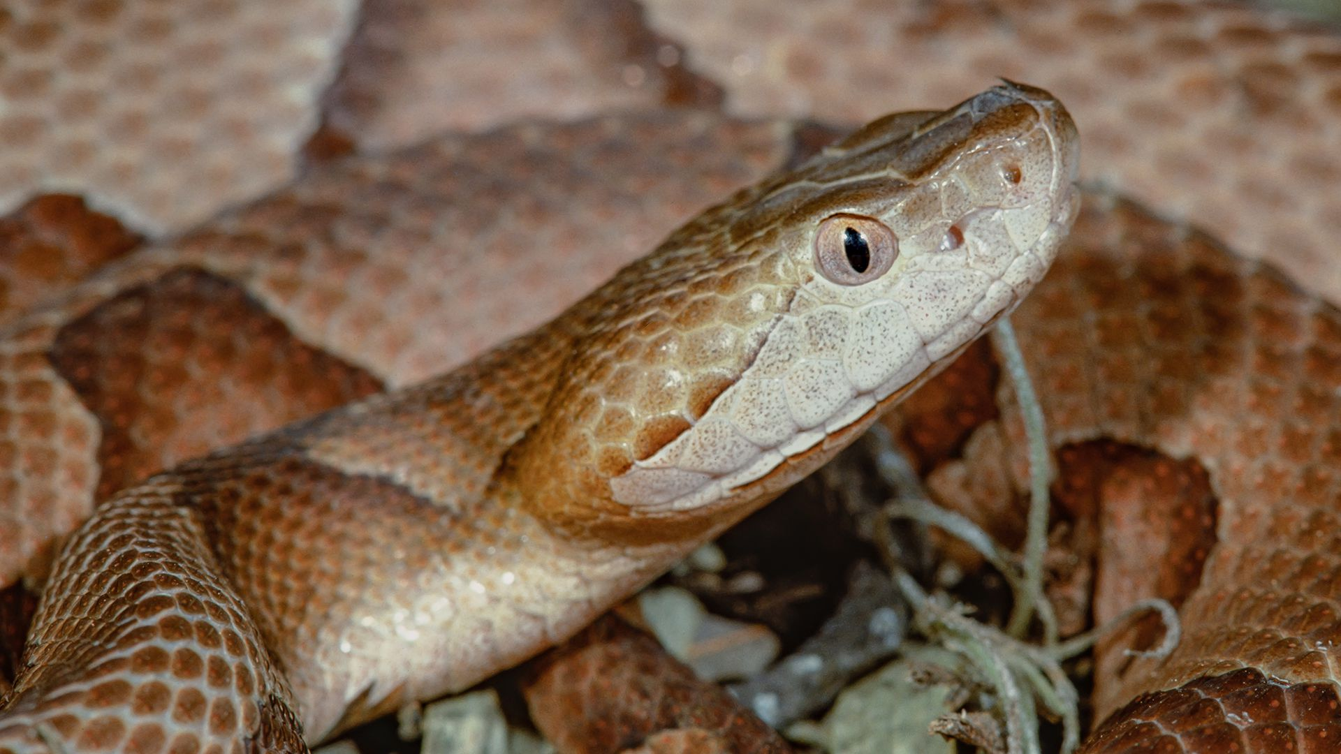 Howstuffworks: How Impressive Is Your Venomous Snakes Knowledge?