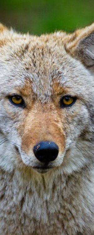 Howstuffworks: Is Your Spirit a Fox, a Wolf, or a Dog?